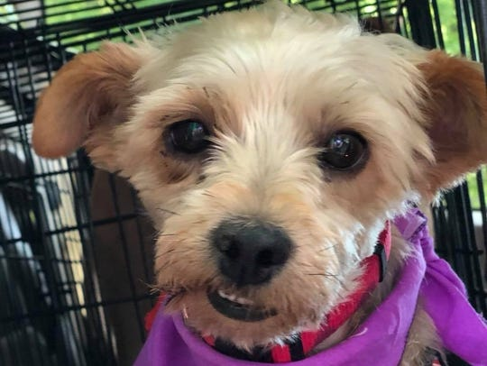 Shorty is a 7-year-old, neutered-male Yorkshire terrier.