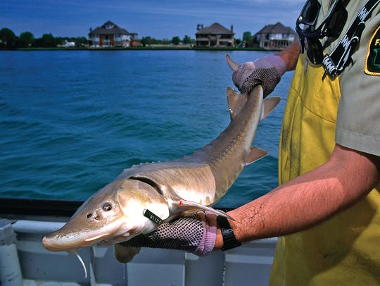 A DNR Fisheries employee works with a sturgeon pulled