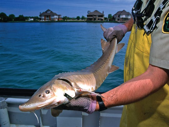 A DNR Fisheries employee works with a sturgeon pulled from a lake.