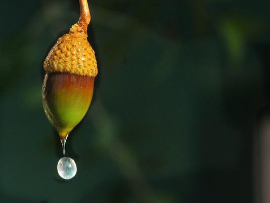 Acorn season