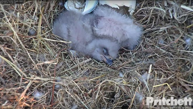 Screengrab from a live video feed shows the two eaglets that have hatched this month. The eaglet known as E10 broke through its egg shell on Tuesday, Dec. 26 and E11 hatched on Wednesday, Dec. 27, 2017.