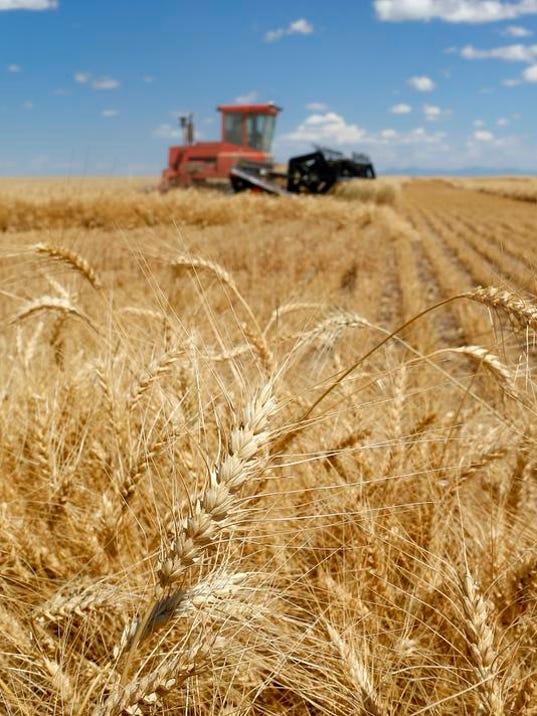 -Winter Wheat 5.jpg