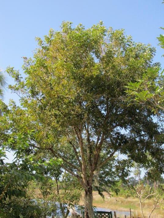 West Indian Mahogany Tree