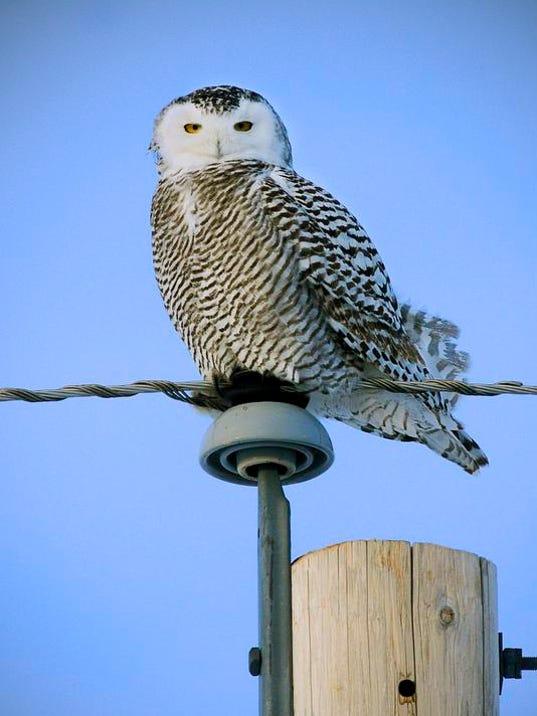 STC 1228 Snowy Owl 2.jpg