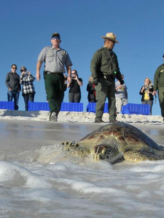 Green Sea Turtle Release_14.JPG