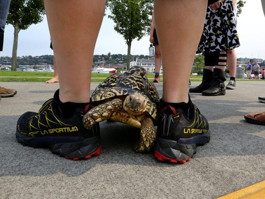 Cha Cha the leopard tortoise plows forward while out