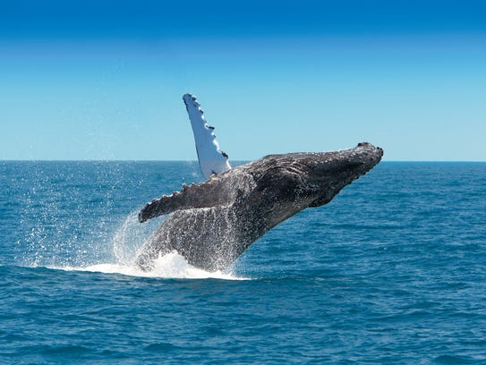 Hervey Bay is known the world over for its prime whale