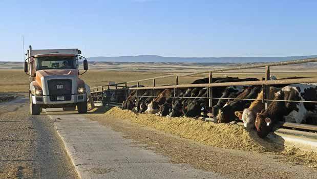 Feeding time at Bos Terra Feeders in Judith Basin County