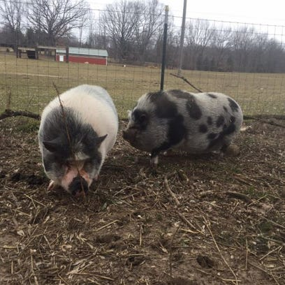 It was love at first sight for 2 pigs with rough pasts