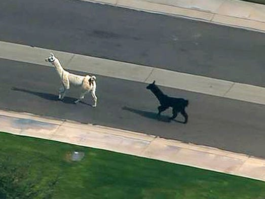 Llamas on the loose in Sun City in February 2015.