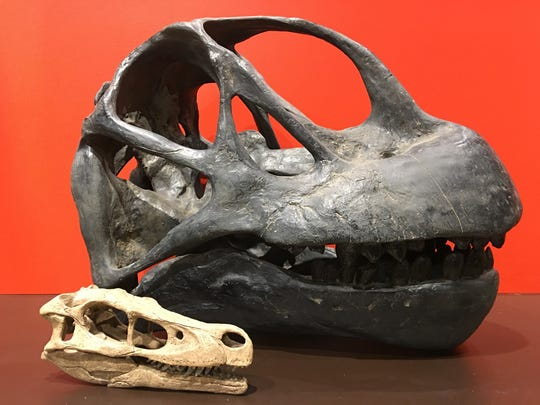 These skulls of the velociraptor, the small one, and