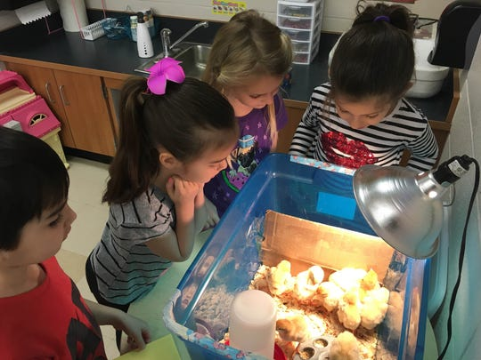 Central School kindergartners (L-R) Toby May, Alexis Stultz, Ava Traina and Ariana Theofanidis watch over a brood of chicks in their classroom on April 14.