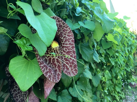 A Dutchman's Pipe vine clings to a wall on the campus of the Unitarian Universalist Church of Fort Myers. The plant attracts swallowtail butterflies to the 14-acre property, which aims to be a bastion of green space amid the area's development.