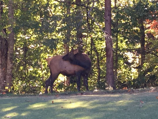 A wild elk, spotted in Pickens County