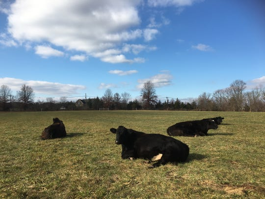 Duke Farms in Hillsborough is going back to its agrarian roots: the cows are back.