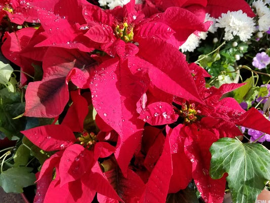 636174423176506813-Poinsettia-red-glxy-s7.jpg