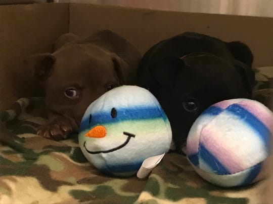 Two newborn pups play with their donated toys on Christmas Eve, which were given to the Maricopa County Animal Care and Control shelter by donation drives across the Valley.
