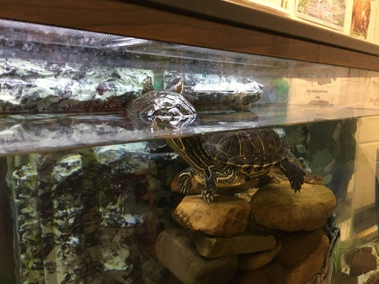 There are a number of animals in Jane Cox' life science classroom at Stewart Middle School, including two read eared sliders. They were 10 years old when given to Cox five years ago.