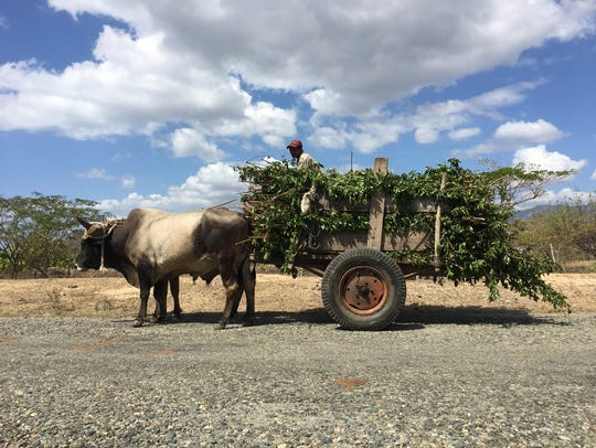 A farmer drives an ox-pulled cart near the town of