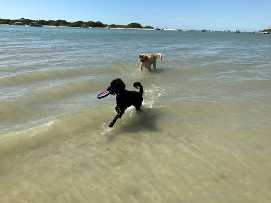 These two dogs play fetch with their owner. They are brothers and love to come to the dog beach to play with other canines.
