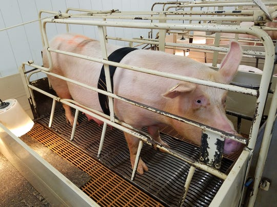 A sow is pictured here wearing a SwineTech prototype. The technology is designed to prevent piglets from being crushed to death by sows by sending an electrical impulse to the sow when a piglet is being crushed.