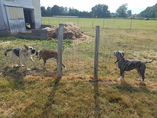 These three dogs are on canine death row after being found inside a pen with three dead goats last summer in Ionia County. One of the dogs is missing from county Animal Control custody, and Sheriff's Department staff are investigating.