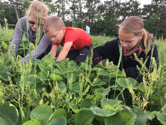 Carter Peterlin, 4, and Ella Peterlin, 5, pick strawberries with their mother Stacy Peterlin on Sunday, June 18, at Grayson's Berryland.