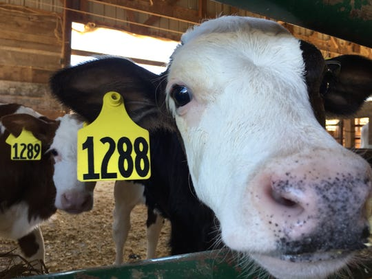 A curious young cow enjoys a sniff at a stop on the