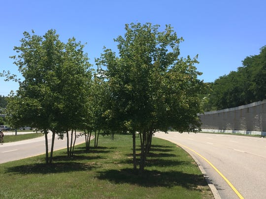 Trees planted 11 years ago as part of an interstate