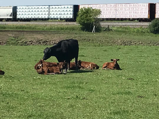 Mother Nature designed cows and heifers to make colostrum between three and five weeks prior to calving.