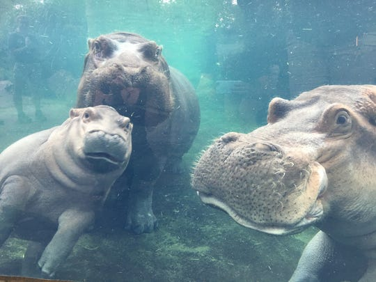 Fiona the hippo with her parents, Bibi and Henry.