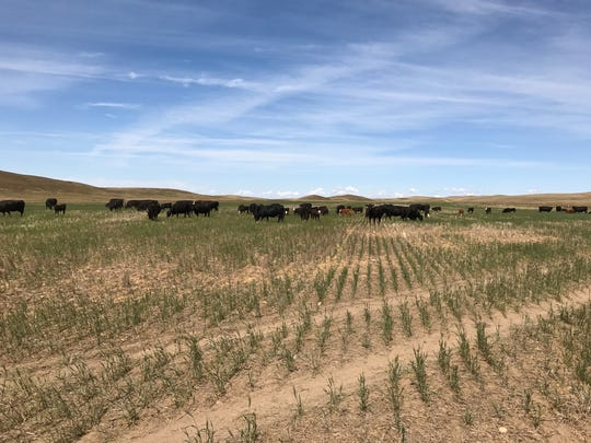 Cattle turned out to graze on the remnents of a spring wheat crop near Savage in eastern Montana