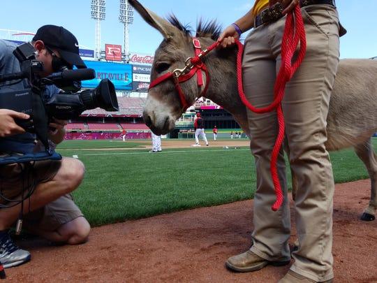 Amos the donkey from Honey Hill Farm shows interest