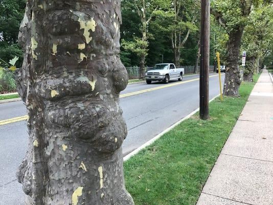 SycamoreTrees.jpg