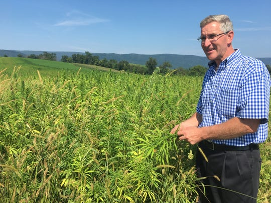 A field of hemp, a variety of marijuana, stretches out behind Pennsylvania Secretary of Agriculture Russell Redding on Monday, Aug. 21, 2017.