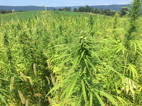 Hemp is ready for harvest on a Mercersburg-area farm on Monday, Aug. 21, 2017.