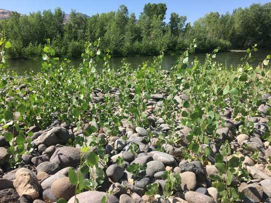 New Cottonwood trees growing along the banks of the Truckee River. If the trees survive they will shade the water and make it more habitable for trout. August 30, 2017.
