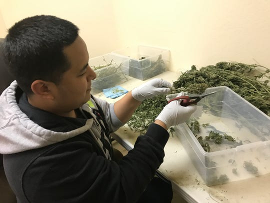 Gabino Chavez, a trimmer for Ethnobotanica, is busy