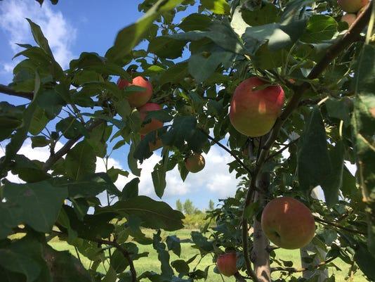 636403204329445790-apples.JPG