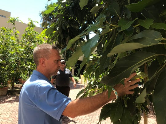 Bob Weiss, a cancer survivor, checks out avocados on a tree that he and others planted years ago in the courtyard on the campus of NCH North Naples Hospital.