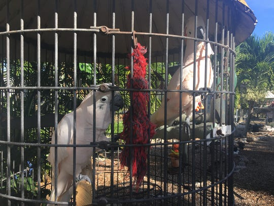 Staff at Sanibel's Periwinkle Place will make preparations to keep their menagerie safe from Hurricane Irma.
