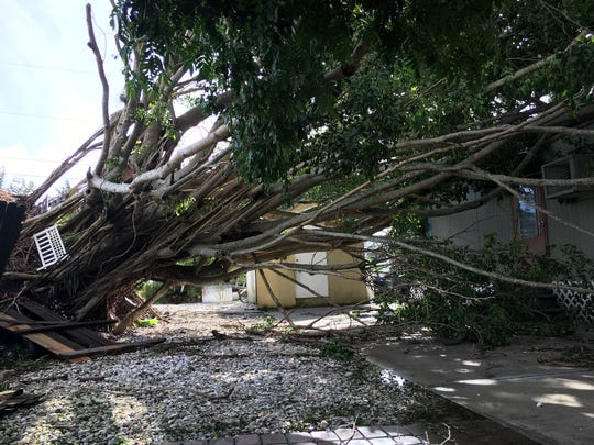 A giant strangler fig tree toppled by Hurricane Irma