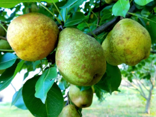 Keiffer pears are a southern favorite variety with