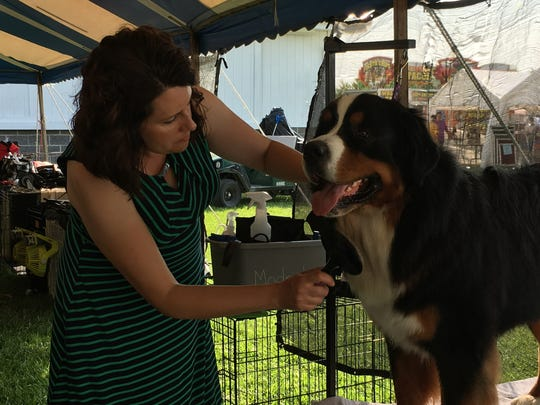 Julie Modrich grooms Wrigley, her family's Bernese mountain dog, at a show organized by the St. Clair County Kennel Club. She competes in breed competitions with Wrigley.