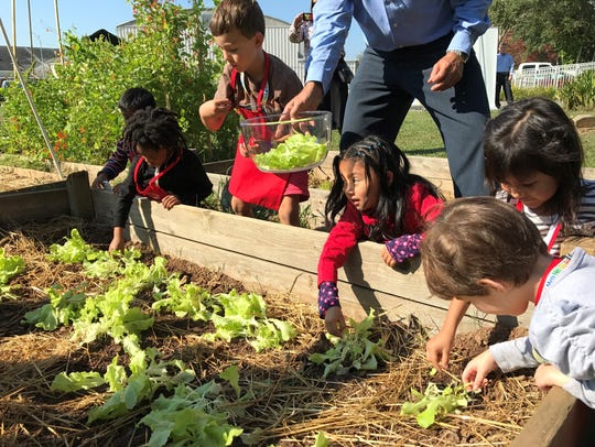 Students pick lettuce to make a salad during a gardening