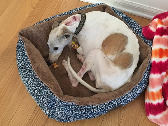 Heidi, a whippet belonging to Francine Figliolo and