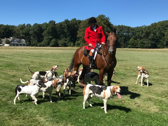American fox hounds run on the grounds of Hartley Farms