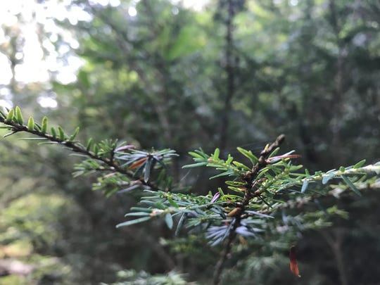 A hemlock branch free of hemlock woolly adelgid intrudes on a trail off Clinton Road in West Milford last month.