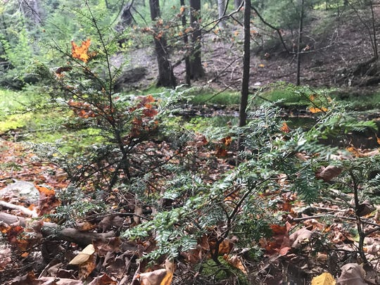 Two young hemlocks grow off Clinton Road in West Milford last month.