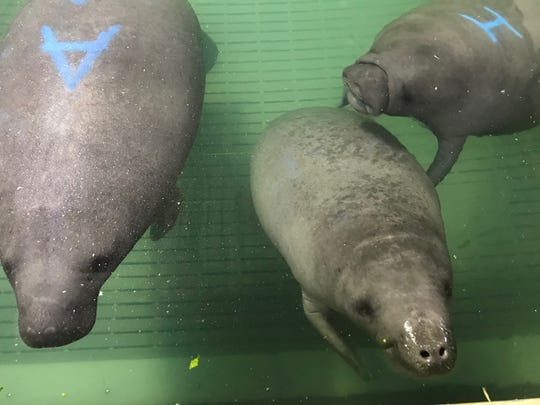 Pippen, shown here with former Manatee Springs buddies Miles and Matthew, is now welcoming a new manatee, Truffleshuffle, who needs the care team's help. Miles and Matthew were taken to Florida this week and will be released in the wild.